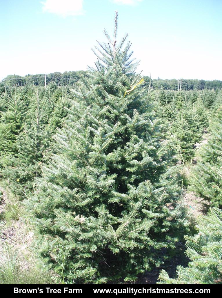 Balsam Fir Christmas Tree Image 4