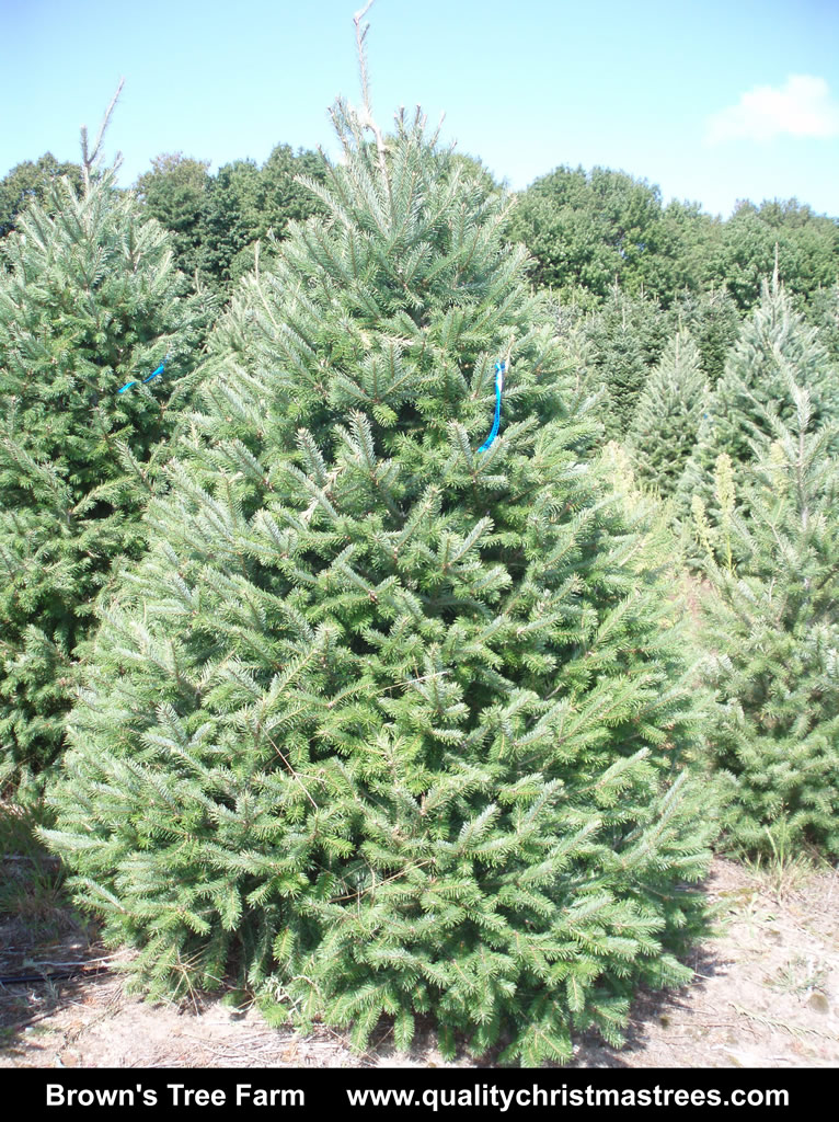 Wholesale Real Christmas Trees