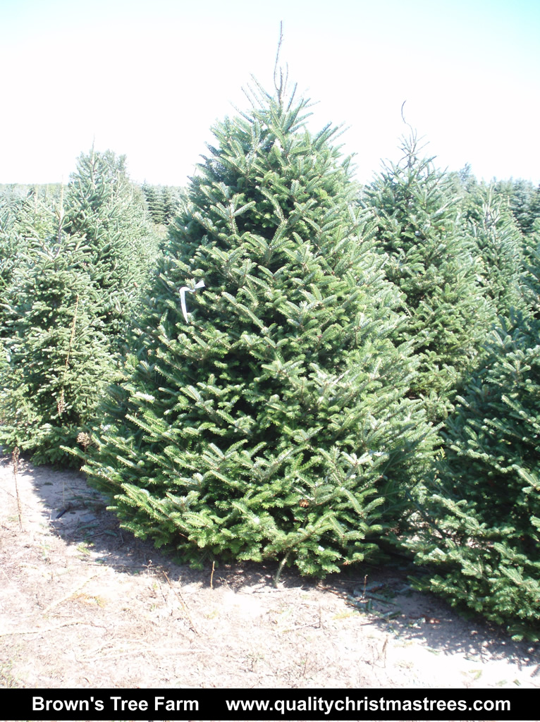e449480caae Fraser Fir Christmas Tree Image 1