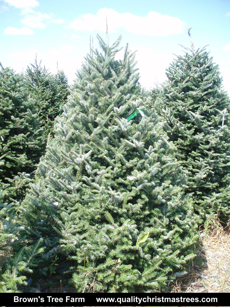 a4457638d72 Fraser Fir Christmas Tree Image 2