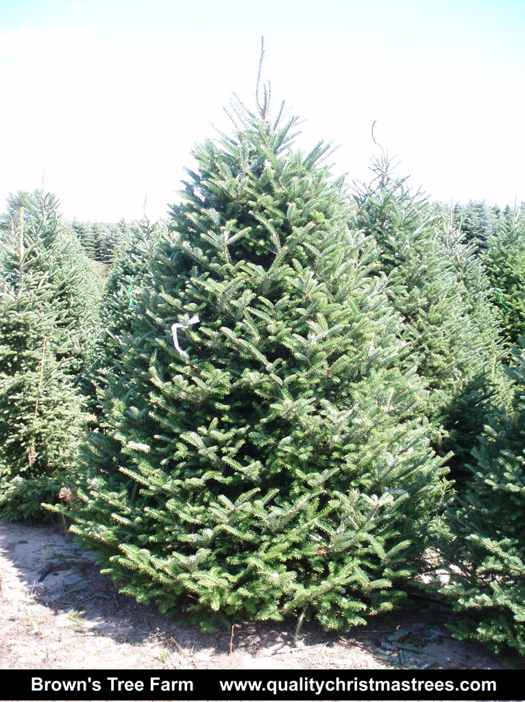 8f46fc97105 Fraser Fir Christmas Tree Image 3