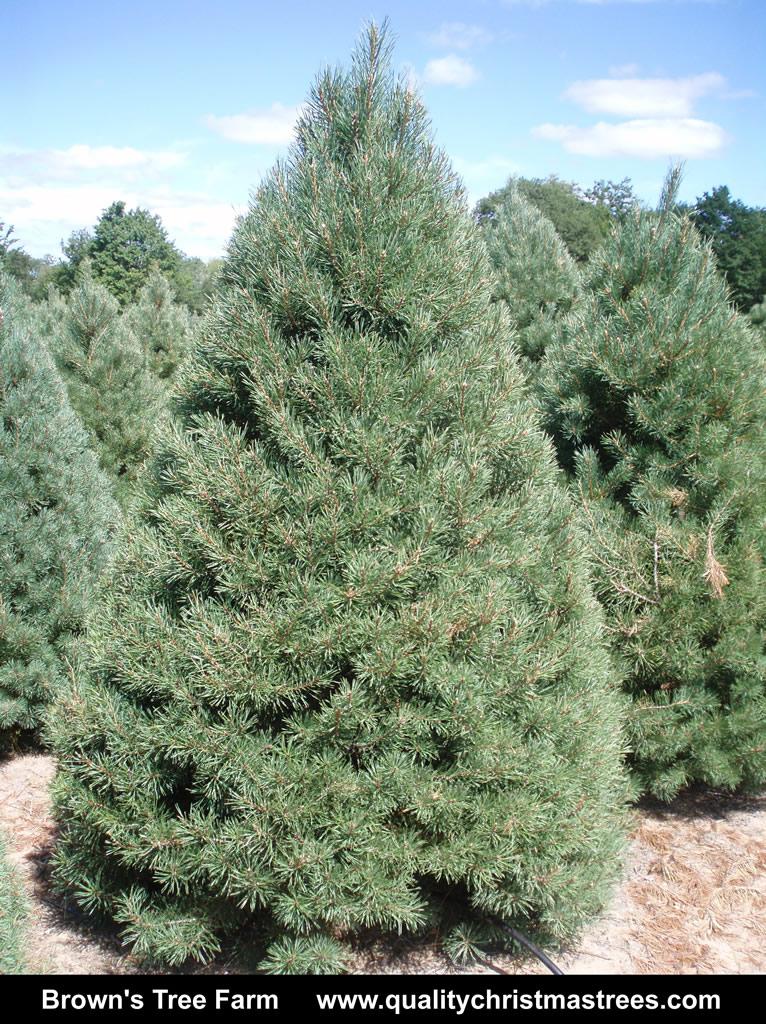 scotch pine christmas tree image 2 - Pine Christmas Tree